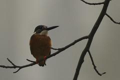 Alcedo atthis (ddsnet) Tags: birds sony 700     nationaltsinghuauniversity 700