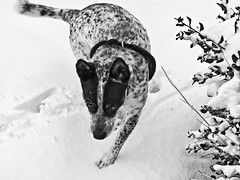 Snow dog (tombothetominator) Tags: arizona bw dog snow forest canon az hike powershot prescott scrappy g9 millercreek