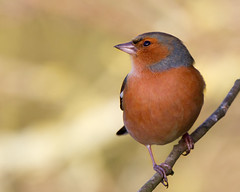 Another Chaffy (Andrew Haynes Wildlife Images) Tags: bird nature rugby wildlife warwickshire avian chaffinch draycote draycotewater wildlifeeurope canon7d ajh2008