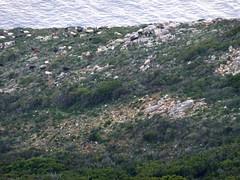 Tour de Santa Manza : les chèvres