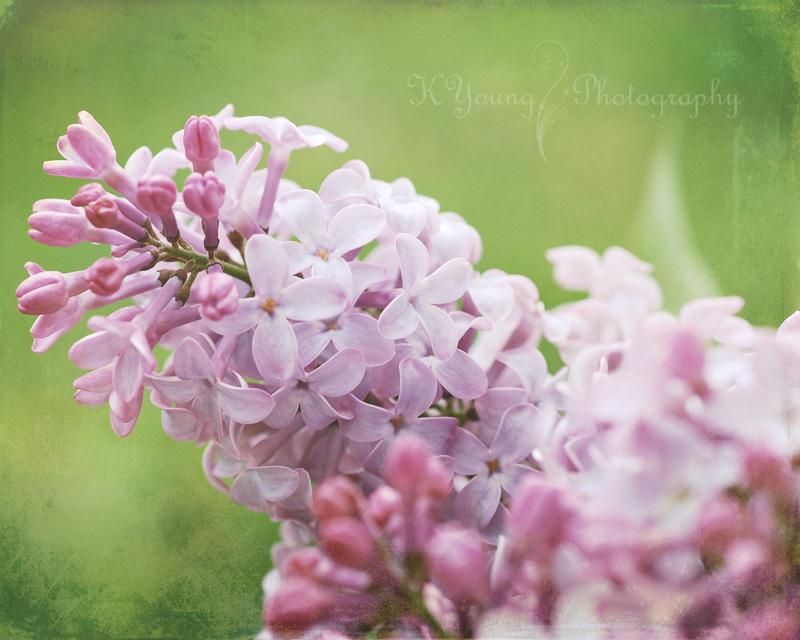 Lilacs last spring