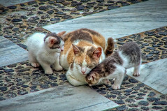 Mum and her kittens (tonemapped) (Andrew Shepherd) Tags: cats kittens santorini greece jpg jpeg greekislands cyclades lightroom photomatix tonemapped