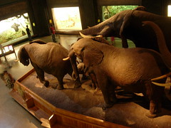 The Elephants (navema) Tags: africa nyc ny newyork animals museum centralpark african manhattan science taxidermy exhibitions upperwestside elephants amnh mammals diorama americanmuseumofnaturalhistory thenaturalworld akeleyhallofafricanmammals carlakeley navema dralbertsbickmore