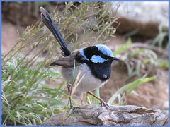 Superb Blue Wren (Christine cutting down because of overload :() Tags: bird australia wren hardenbergia fairywren superbbluewren bathurstnsw malaruscyaneus