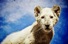 [フリー画像] 動物, 哺乳類, ネコ科, ライオン, 201006271100