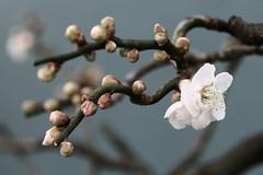 Japanese Apricot (segamatic) Tags: flowers macro tag3 taggedout canon eos tag2 shift bonsai bbg tilt brooklynbotanicalgarden japaneseapricot steinhardtconservatory canontse90mmf28 5dmarkii 5dmkii