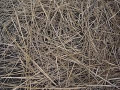 鳳林自然農田 川口由一自然農法的秧田 稻子育苗