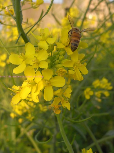 katharine娃娃 拍攝的 10蜜蜂採花蜜。