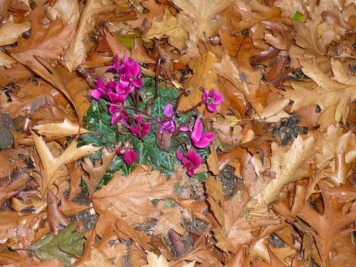 Autumn Cyclamen
