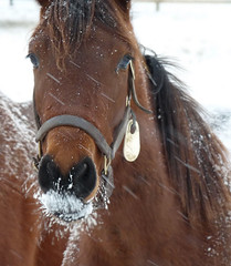 Equine ice beard (joiseyshowaa) Tags: county new winter horse brown white snow eye ice animal neck newjersey farm nj freezing jersey monmouth colts holmdel equine mane sleet joiseyshowaa brreath erquus joiseyshowa