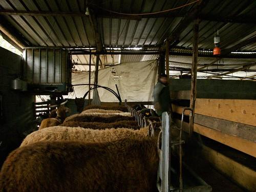 das ovelhas