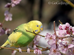 Spring! (GoGoJingo) Tags: pink flower green bird yellow japan spring parrot osaka  plumblossoms zuikodigital1454mmf2835 olympuse510