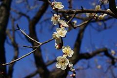 Plum blossoms at Tsukuba Central Park (Tsukuba-jin) Tags: japan tsukuba plumblossoms