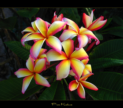 Pictures Of Hawaiian Flowers. Hawaiian Flowers - The