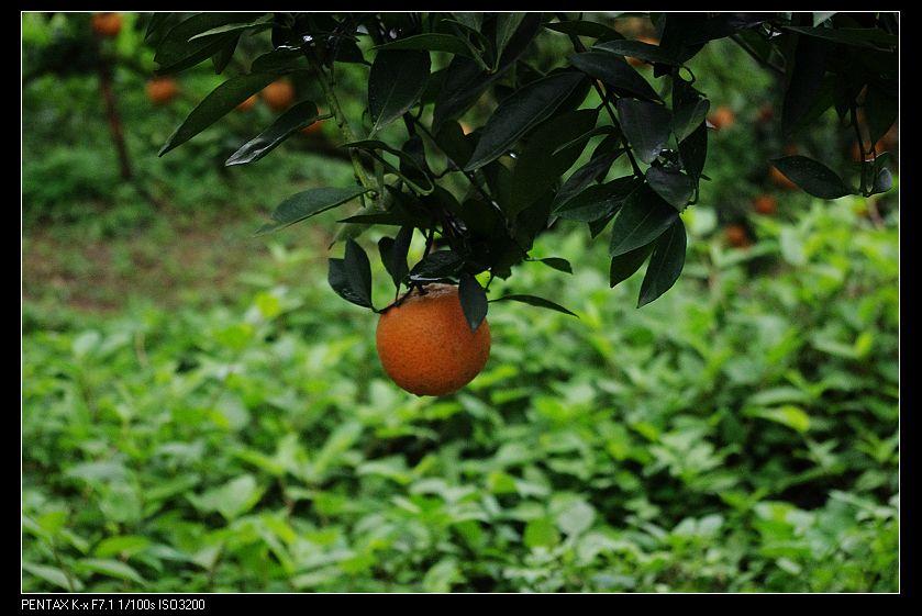 山上柑橘園隨處拍