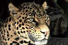 Leopard (rogerfscott) Tags: africa park nature southafrica photography zoo photo nikon image african ngc picture photograph lory lorypark d90 animaladdiction specanimal animalkingdomelite flickrbigcats
