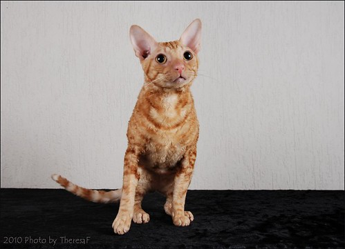 Red Cornish Rex male neuter