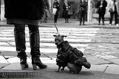 Vita da cani... (bibendum84) Tags: dog chien milan cane canon dress milano coat via monte chanel luxury lusso ricchezza vestito laccio napoleone vetement cappotto imbarazzante imbarazzo 5dmarkii scattifotografici alessandroprada