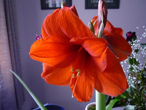 """Red Lion"" amaryllis"