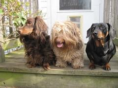 The Dachshund Diversity (Tobyotter) Tags: dog chien frank hound canine dachshund perro hund link wienerdog dackel teckel k9 jimmydean doxie sausagedog aplaceforportraits pointyfaceddog