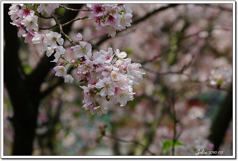天元宮,櫻花