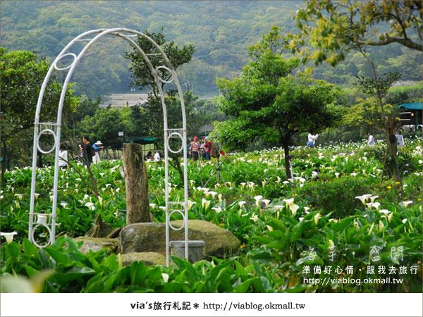 【2010竹子湖海芋季】陽明山竹子湖海芋季~海芋盛開囉!15
