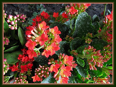 Kalanchoe blossfeldiana (Christmas Kalanchoe) with orangy-red flowers, at a garden nursery