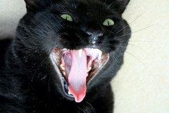 BlackCat , funny cat, haaaaaaaaaa! (nereis*01*) Tags: pet cats pets black closeup cat blackcat feline funny whiskers felines fangs cateyes fang blackcats funnycat catwhiskers rescuedcat catfangs