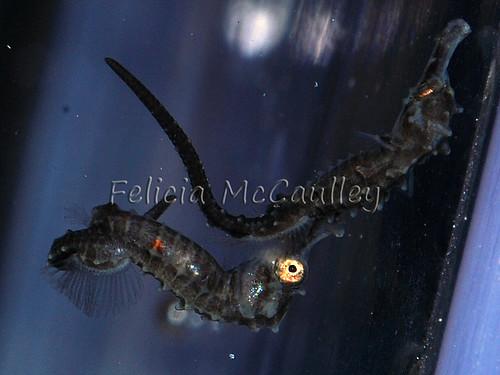baby-seahorses3