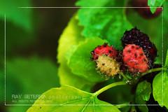 Berries anyone? (ghost_xxx a.k.a. [ r a y ]) Tags: green nikon berries tamron 90mm doha qatar d90 kristianongpinoy