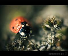 lovebug (cinnamon girl ) Tags: red macro love bug heart bokeh ladybug lovebug goldstaraward