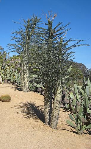 Fouquieria columnaris / Idria columnaris