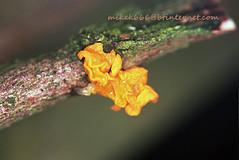 mushroom 8847336 (mikek666) Tags: mushroom cogumelo seta mantar hongo paddestoel pilz fong fungo bolet onddo μανιτάρι μύκητασ μύκησ