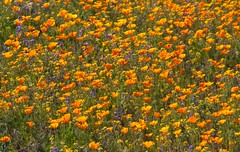 Field of Gold (TPorter2006) Tags: arizona flower yellow gold march poppy 2010 tporter2006