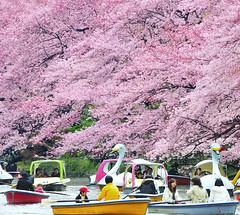 SPRING at INOKASHIRA PARK (ajpscs) Tags: japan river japanese tokyo boat spring nikon blossom 日本 nippon 東京 hanami haru 春 inokashirapark d300 花見 musashino 井の頭恩賜公園 onshi ニコン ajpscs pinkisthecolorofspring kichijōji kōen