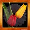 Tulips and Gerbera (chetty3) Tags: flowers canon tulips gerbera pictureperfect tistheseason coth sigma105mmf28 supershot fantasticflower impressedbeauty eos40d flickrsfantasticflowers goldstaraward wonderfulworldofflowers coth5 hennysgarden