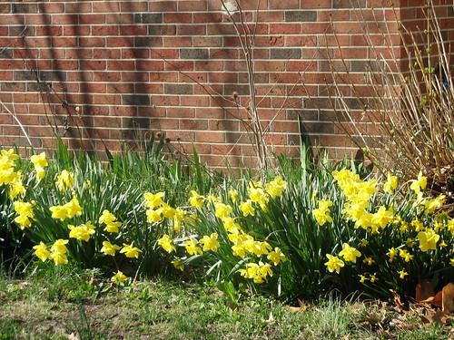 addition daffodils