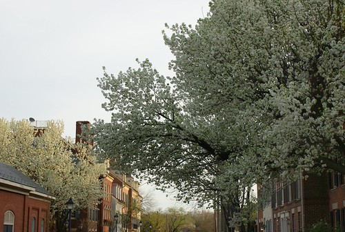dogwoods in old town