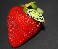 Cetoniidae>Eupoecila inscripta Flower Beetle IMG4174 (Bill & Mark Bell) Tags: exmouth westernaustralia australia geo:town=exmouth geo:state=westernaustralia geo:country=australia geo:lon=11425453egeolat2217752sgeoalt8m 11425453e2217752salt8m taxonomy:kingdom=animalia animalia taxonomy:phylum=arthropoda arthropoda taxonomy:class=insecta insecta taxonomy:order=coleoptera coleoptera taxonomy:family=cetoniidae cetoniidae taxonomy:genus=eupoecila eupoecila inscripta taxonomybinomialnameeupoecilainscripta eupoecilainscripta taxonomycommonnameflowerbeetle flowerbeetle insect animal fauna beetle