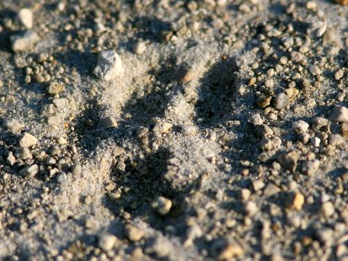 Bobcat track 20100403