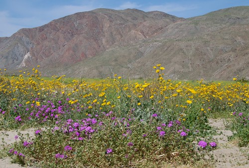 wildflowers at Anza-Borrego Desert State Park  0048