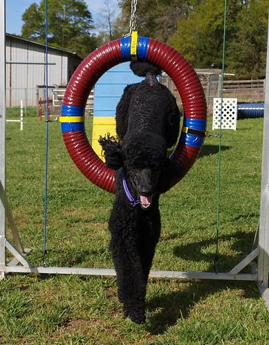 Agile poodle!