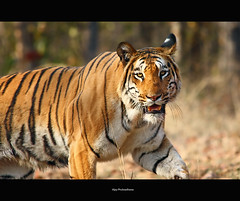 I See You.. (Vijay..) Tags: vijay nature canon zoom wildlife tiger telephoto handheld charging xsi 70300 naturesfinest 450d nagzira phulwadhawa