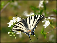 Papillon (Domi Rolland ) Tags: france nature europe papillon printemps millau midipyrnes abigfave platinumphoto natureselegantshots vanagram updatecollection parcdelavictoiremillau