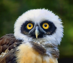 My Favourite Owl (Steve Wilson - classic view please) Tags: uk portrait england baby bird southamerica up yellow closeup america geotagged zoo eyes nikon close cheshire britain south great beak feathers young chester raptor owl tropical stare prey endangered d200 immature predator captive juvenile geotag rare tropics avian birdofprey captivity carnivore spectacled upton chesterzoo babyowl nikond200 spectacledowl magicofnature youngowl caughall