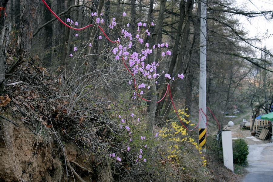 Azalea & forsythia flowers