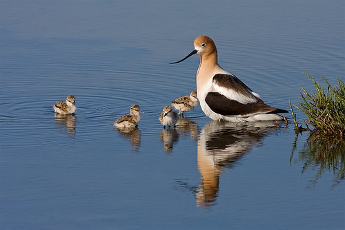 Avocet Family