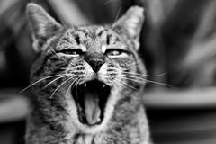 [フリー画像] 動物, 哺乳類, 猫・ネコ, モノクロ写真, 口を開ける, 201004221100