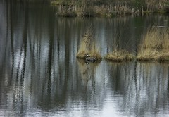 Reflections and a goose (joeke pieters) Tags: holland nature netherlands reflections nederland goose gans canadagoose achterhoek winterswijk gelderland potofgold kotten gelderschlandschap canadesegans borkensebaan nonneven nonnenven