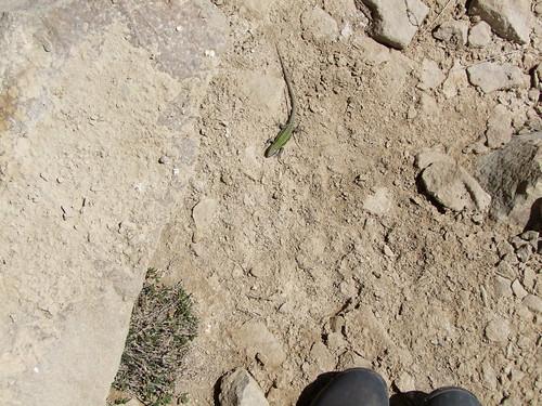 Wall Lizard (8)